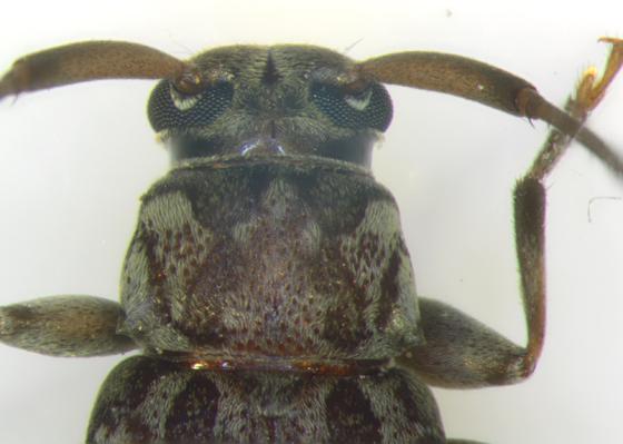 Cerambycidae, head & pronotum - Lepturges confluens