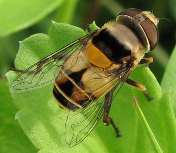 Fly - Palpada pusilla - female