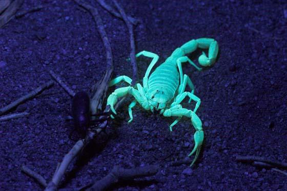Scorpion Under Uv Light At Night Hadrurus Anzaborrego