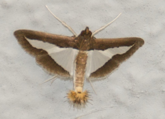 Odd Moth - Diaphania modialis