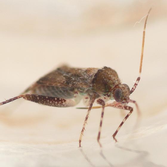 Phytocoris breviusculus