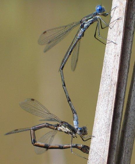 Spotted Spreadwing - Lestes congener - male - female