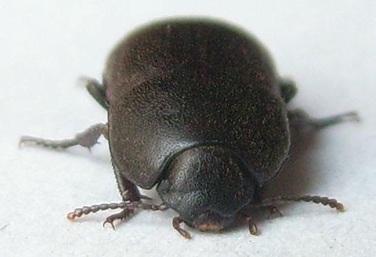 Coniontis Darkling Beetle - Coniontis
