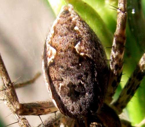 Spider in Texas, maybe Tinus peregrinus - Tinus peregrinus