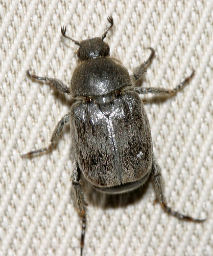 scarab? - Hoplia trivialis