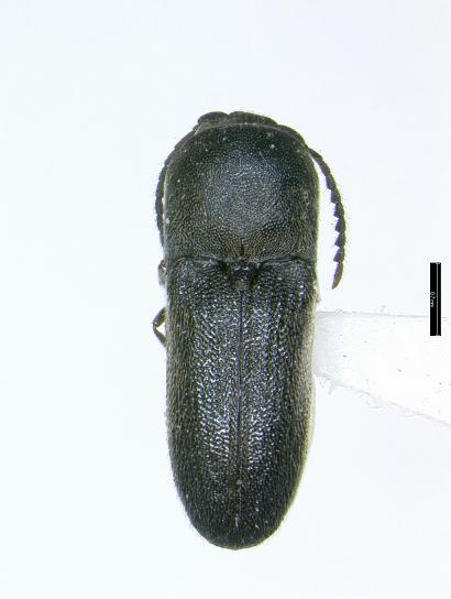 Microrhagus audax Horn - Microrhagus opacus