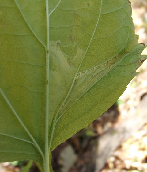 Linear/blotch mining, white snakeroot - Leucospilapteryx venustella