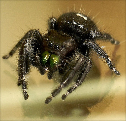 Black Spider with White Markings and Green Fangs - Phidippus audax