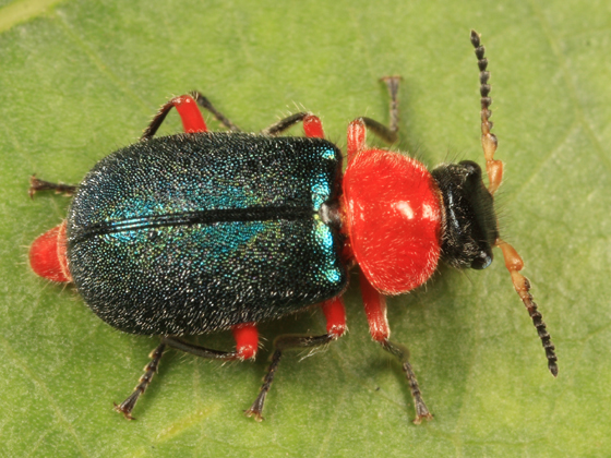 Soft-winged Flower Beetle - Collops grandis - female