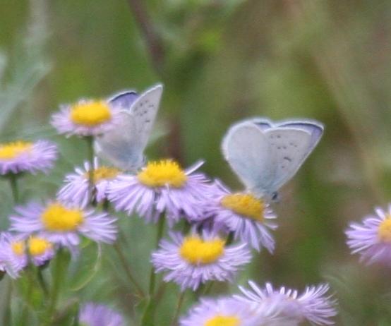 Bluish butterfly - Lycaena heteronea