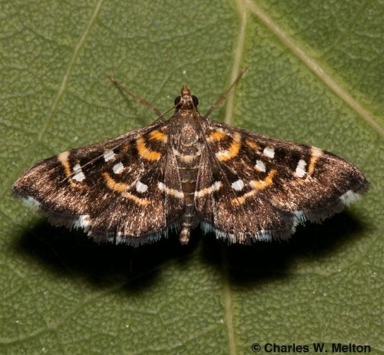 Diathrausta sp. - Diathrausta harlequinalis