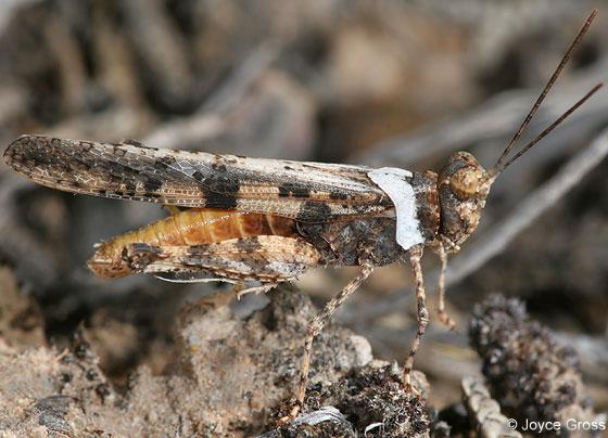 grasshopper - Conozoa texana - male