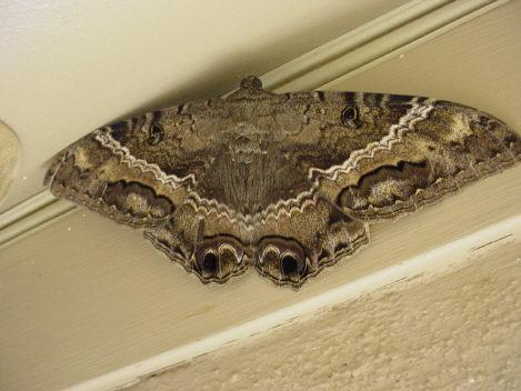 moth - Ascalapha odorata - female