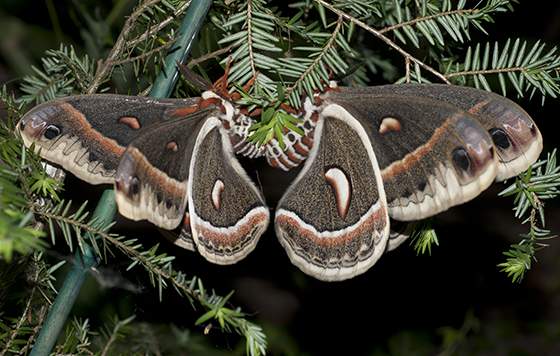 Cecropia Moths mating - Hyalophora cecropia - male - female