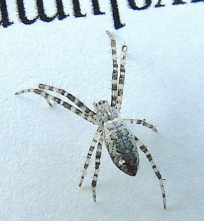 Spider - Argiope aurantia - female
