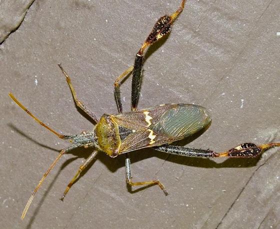 Western Leaf-footed Bug - Leptoglossus clypealis