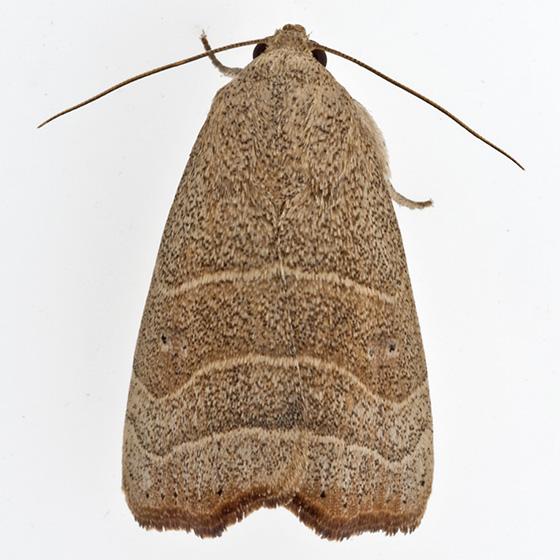 moth - Bagisara repanda