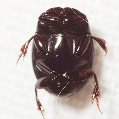 Small Beetle - Ateuchus