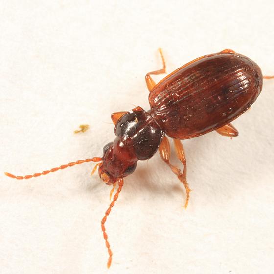 Ground Beetle - Trechus apicalis