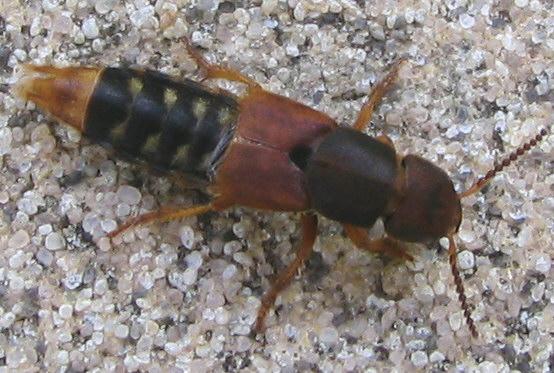 rove beetle - Platydracus immaculatus