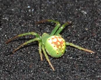 Grateful Dead Spider - Araneus cingulatus - female