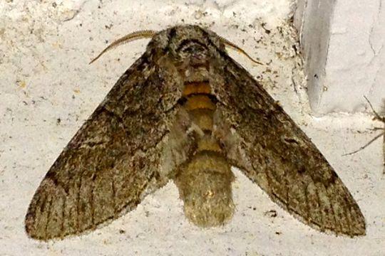 Notodonta torva – Northern Finned Prominent Moth - Notodonta torva - male
