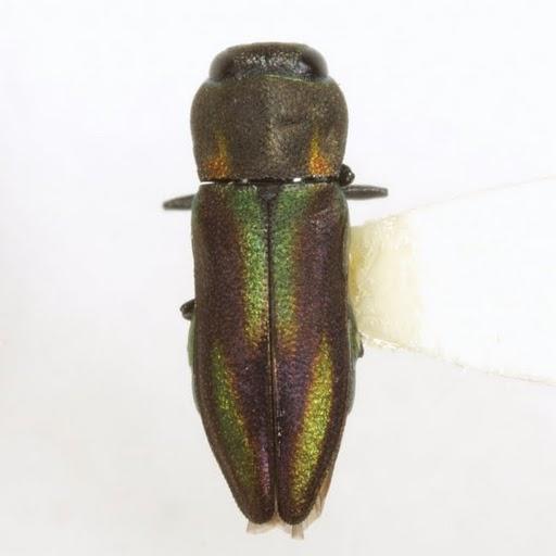 Anthaxia quercata (Fabricius) - Anthaxia quercata