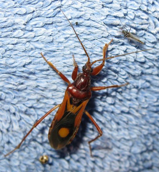 Some kind of plant bug? - Rasahus thoracicus