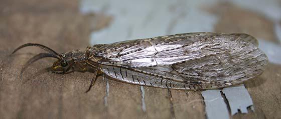 Fishfly - Chauliodes pectinicornis - male