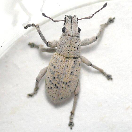 Weevil (3) - Artipus floridanus
