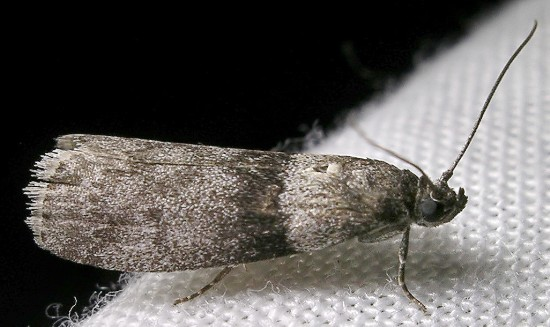 moth - Meroptera pravella