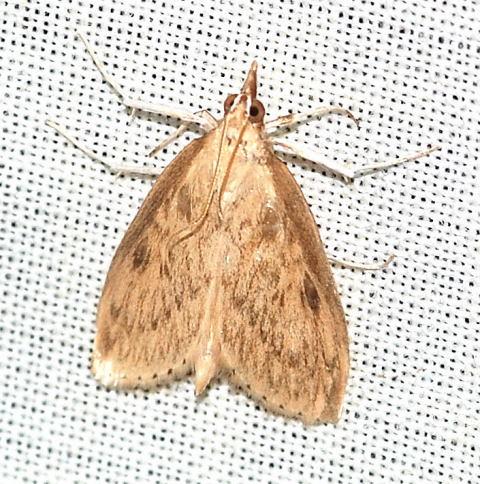 Pyraustinae  Crocidophora pustuliferalis - Crocidophora pustuliferalis