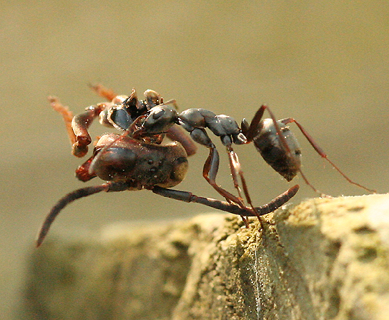 Ant Carrying a Wasp Head - Formica subsericea
