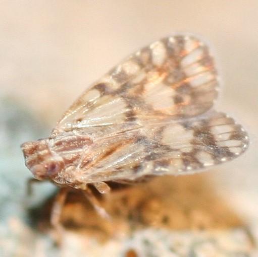 Cixiidae? - Bothriocera maculata