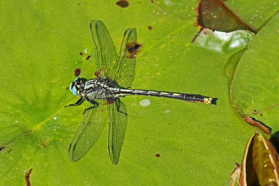 Dragonfly ID please - Arigomphus furcifer