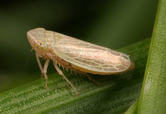Leafhopper - Psammotettix