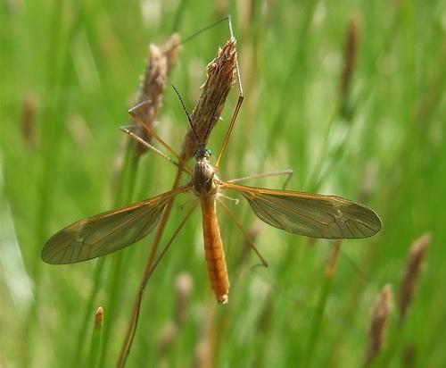 green-eyed cranefly - Angarotipula illustris - male