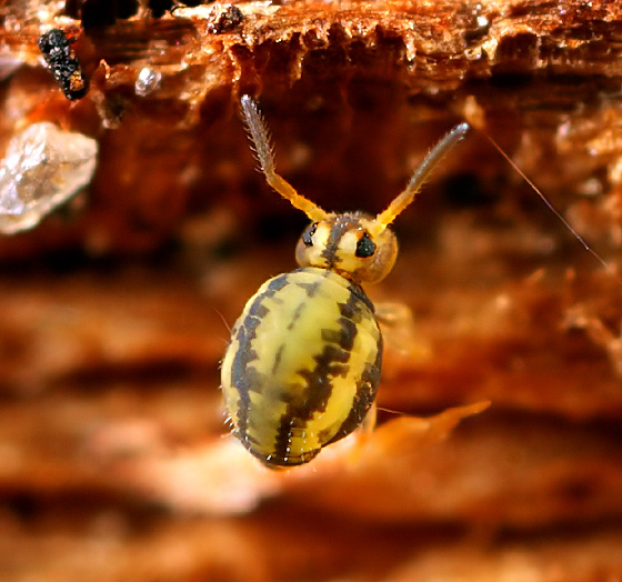 Collembola - Sminthurinus elegans