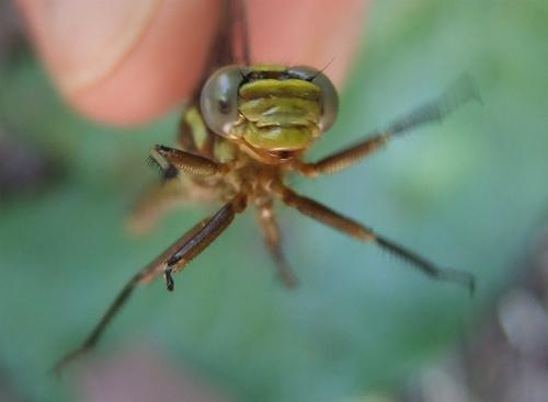 Ashy Clubtail - Phanogomphus lividus - female