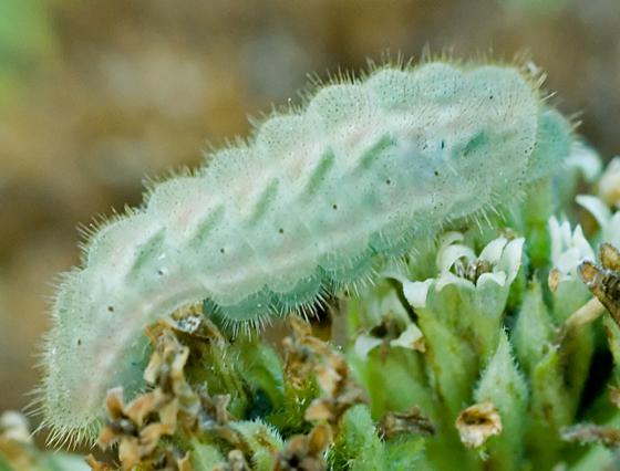 Hair streak? - Strymon melinus