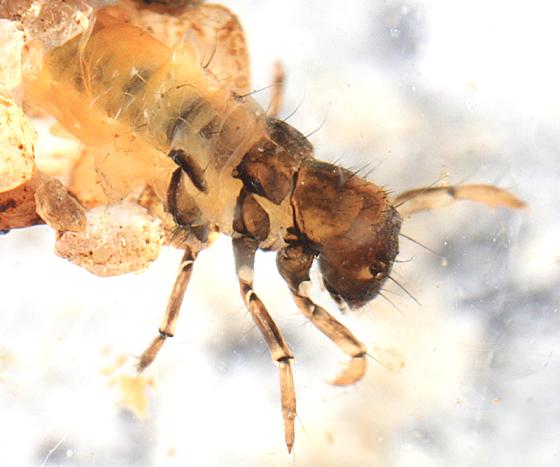 Stonecase Caddisfly? - Neophylax fuscus