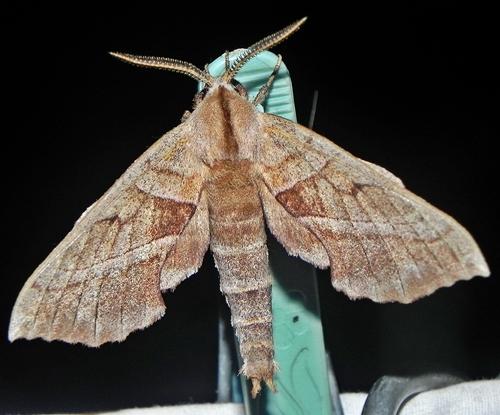 Amorpha juglandis  - Amorpha juglandis
