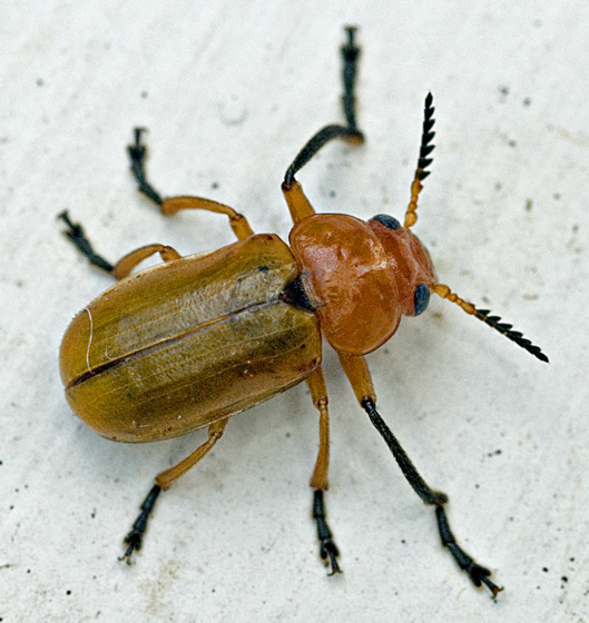 Beetle - Anomoea flavokansiensis