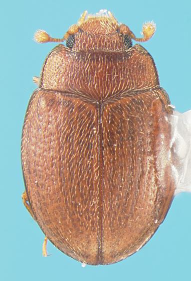 Cerylonid - Mychocerinus depressus