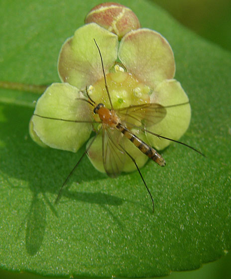 Small Insect On Euonymus americanus