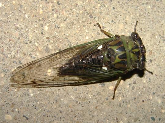 Silver-Bellied Cicada - Neotibicen pruinosus