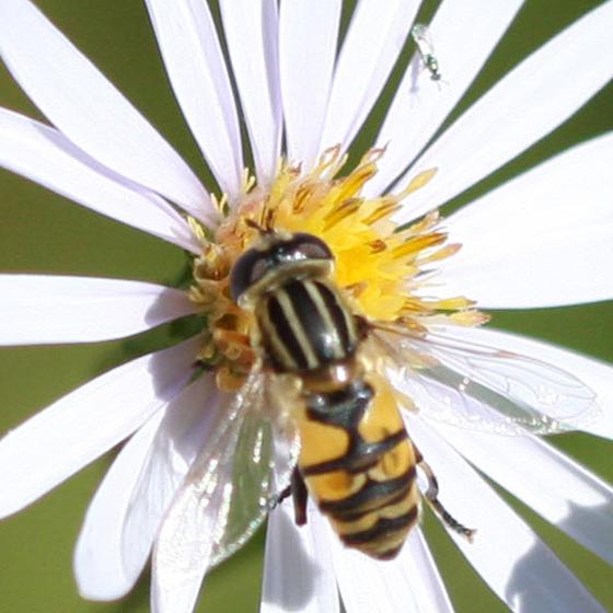 Syrphidae? - Helophilus fasciatus - female