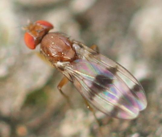 Red-eyed fly - Chymomyza amoena