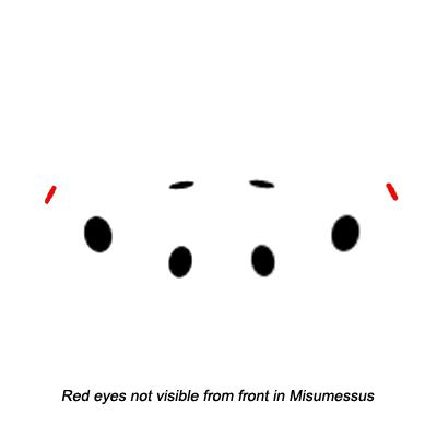 Crab Spider Eye Arrangement - Misumessus oblongus