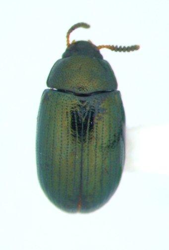 Neomida bicornis - female